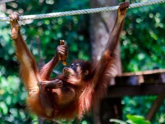 Visitar Orangutanes en Borneo