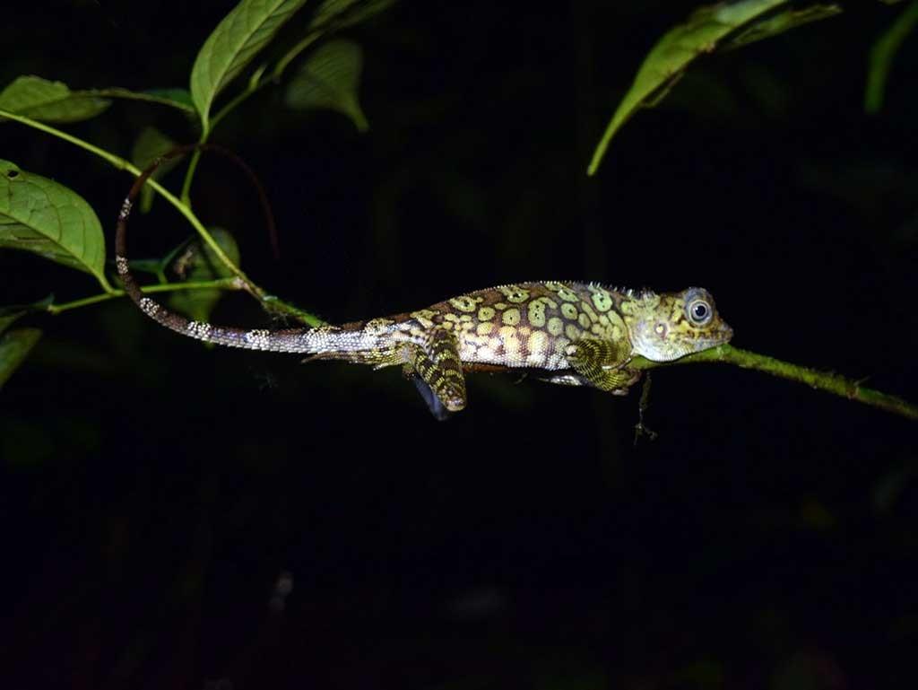 lagarto en Borneo Parque Nacional Bako