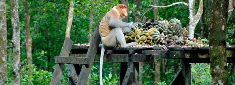 Avistaje de mono nariz de holandés o narigudos al viajar a Sarawak Borneo