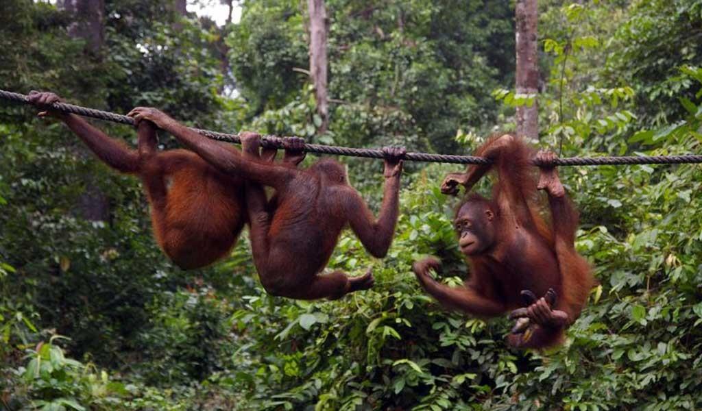 orangutanes en Borneo en la reserva de Sepilok