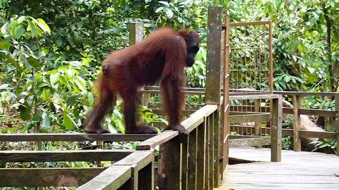 Ver orangutanes en libertad