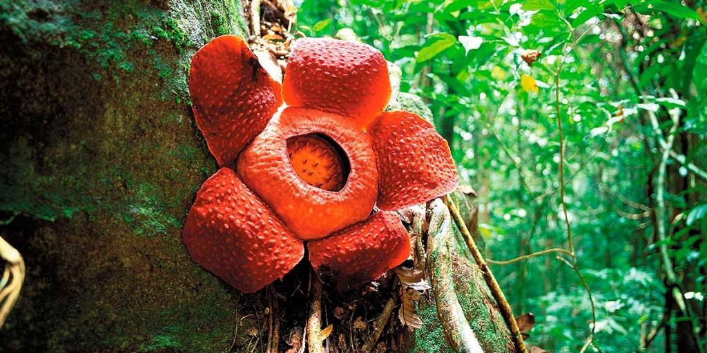La flor más grande del mundo en floración