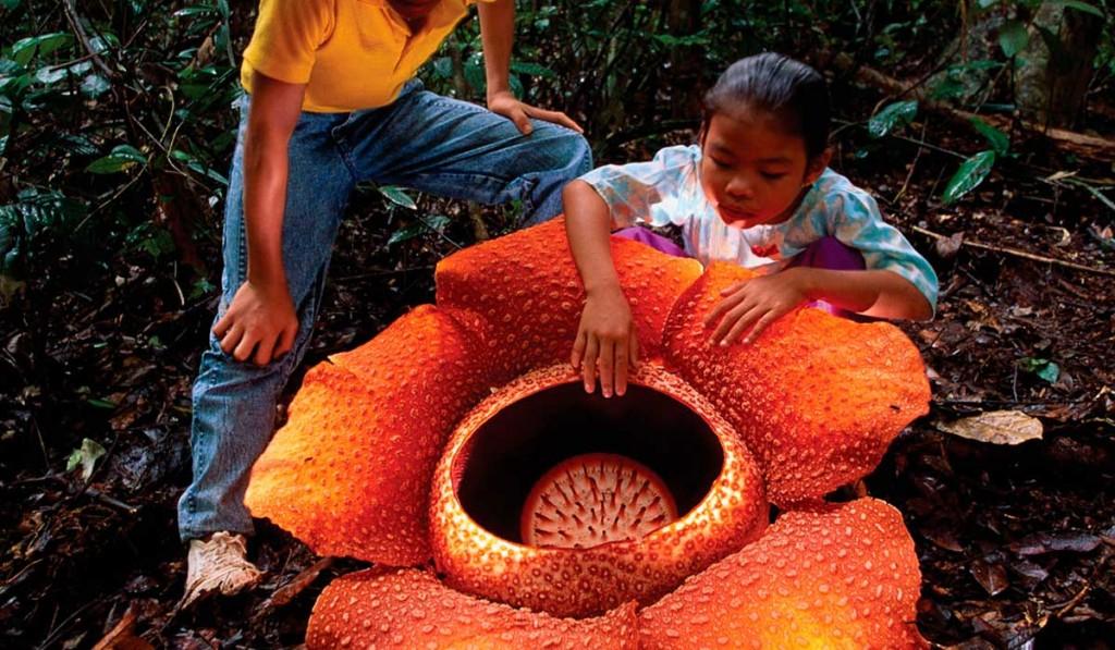 Tamaño de la flor más grande del mundo