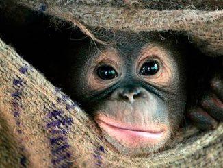 Al recorrer Malasia visitamos la isla de los orangutanes en Perak