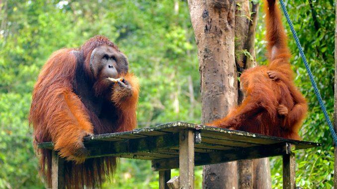 Reserva Semengoh Wildlife