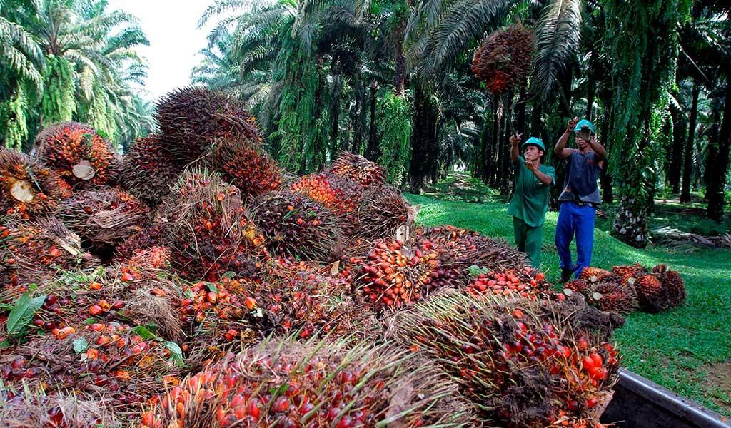 Recolección de las semillas de la palma de donde se extrae el aceite que da pie a los sabores de Malasia