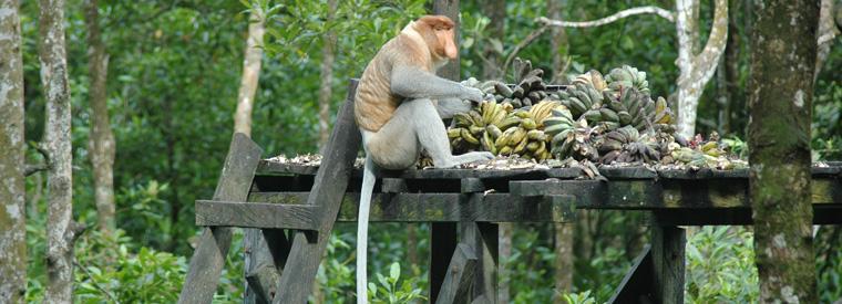 mono narigudo reserva natural en la guía para tu viaje a Malasia