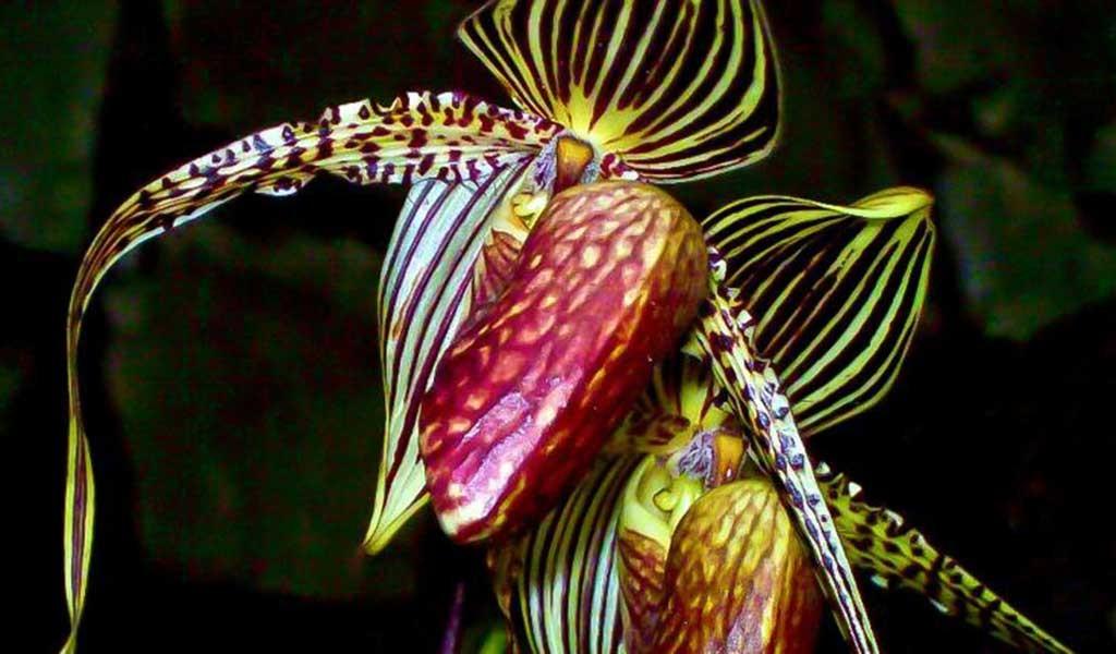 orquídeas exóticas en el monte Kinabalu Borneo
