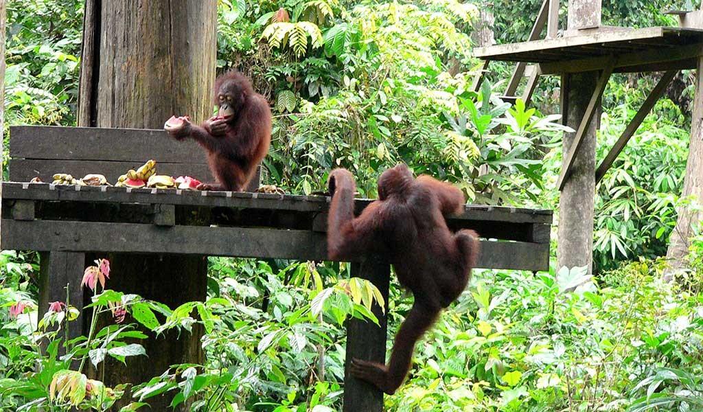 El momento de la comida al visitar orangutanes en Borneo