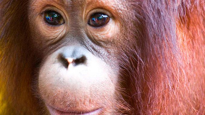 Reserva Sepilok orangutanes Sabah