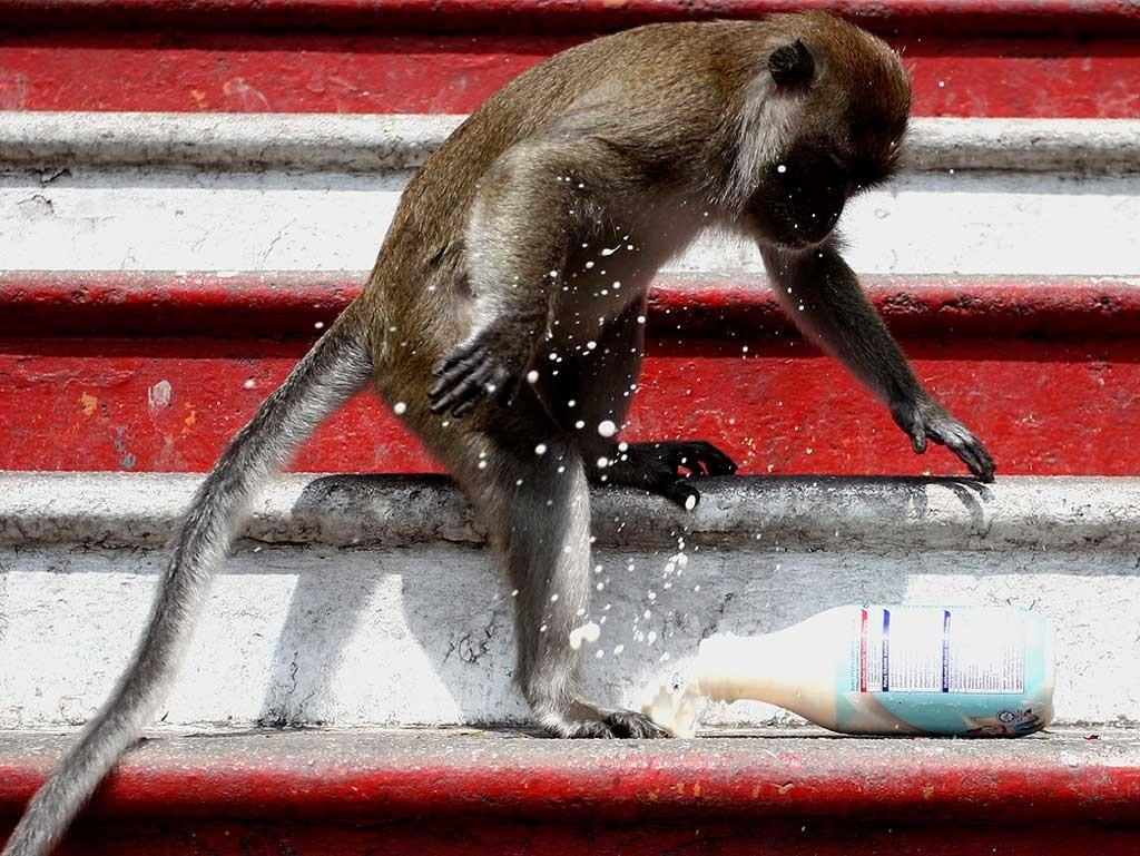 Monos macacos al visitar Batu Caves