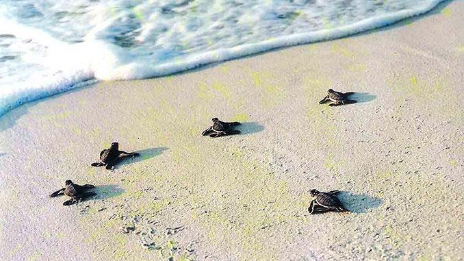 crias-tortuga-borneo