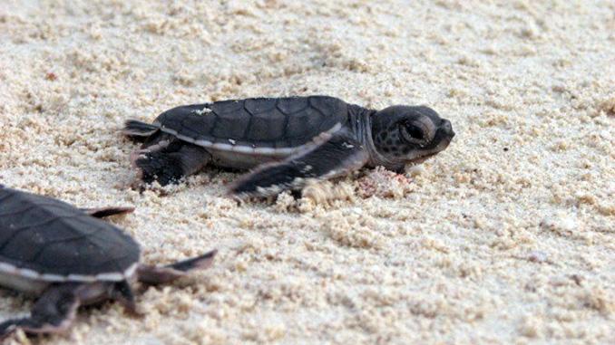 Cría rumbo al mar en la Isla de las Tortugas