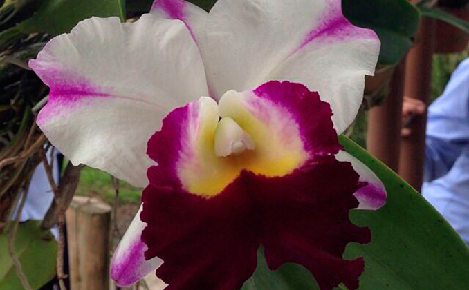 Una orquídea exótica es la orquídea bambú